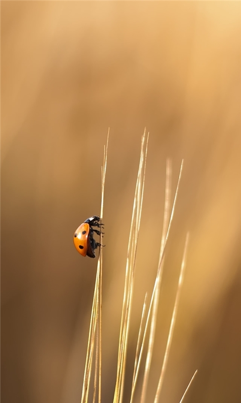 Lady Beetle Windows Phone Wallpaper