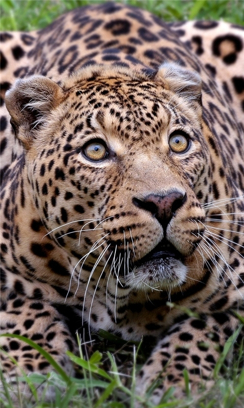 African Leopard Windows Phone Wallpaper