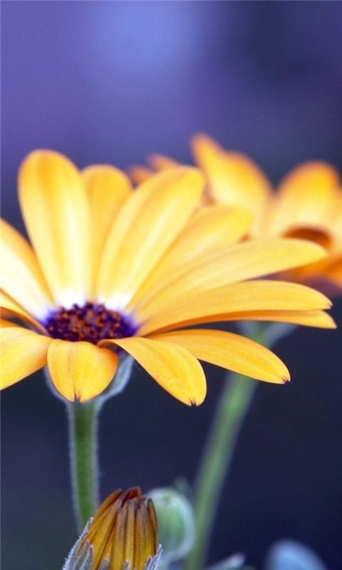 Rudbeckia Flowers Windows Phone Wallpaper