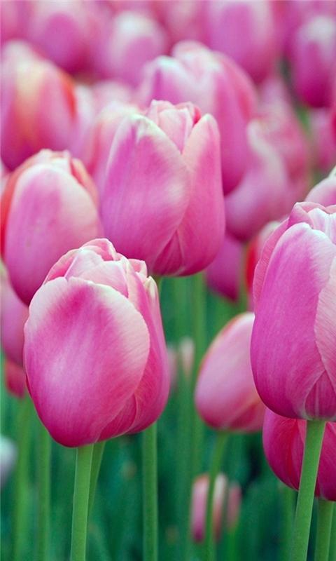Pink Tulips Windows Phone Wallpaper