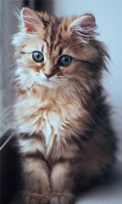 Kitten in the Window Windows Phone Wallpaper