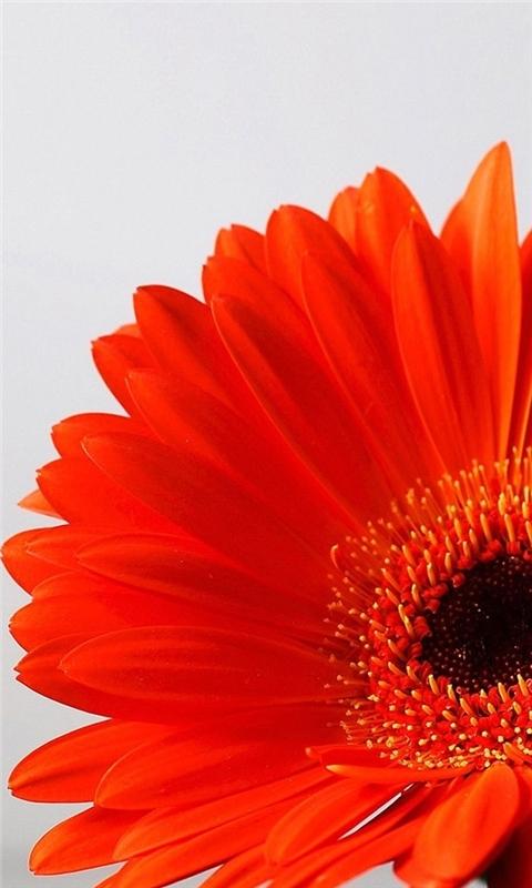 Orange Flower Windows Phone Wallpaper