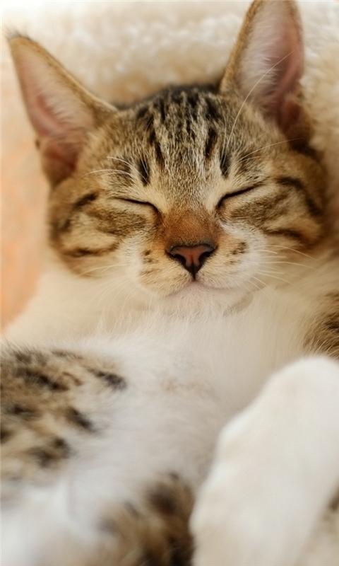 Sleepy Kitten Windows Phone Wallpaper