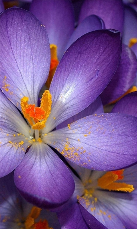 Purple Crocus Windows Phone Wallpaper
