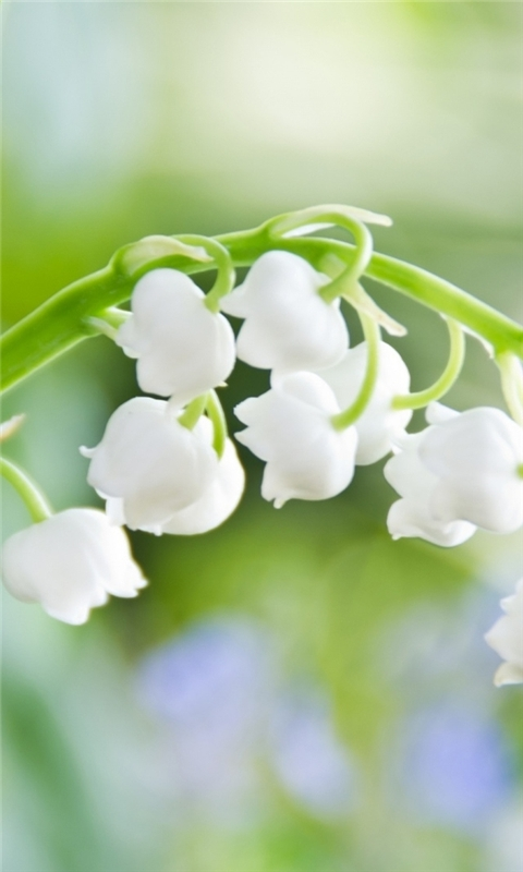 Lily of the Valley Macro Windows Phone Wallpaper