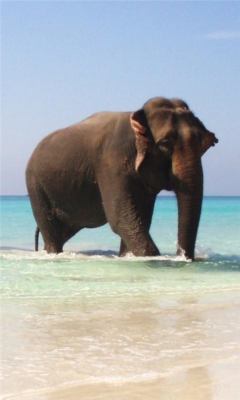 Elephant Windows Phone Wallpaper