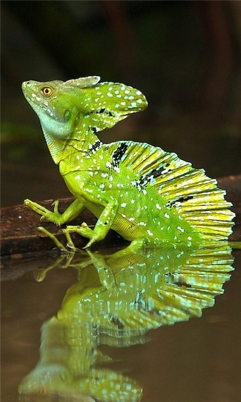 Green Iguana Windows Phone Wallpaper